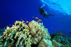 Vrij duiken in tropische overzees Stock Foto