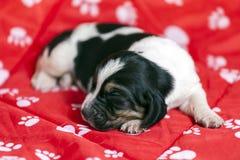 Vrij en zacht Basset de slaap van het hondenpuppy Royalty-vrije Stock Afbeelding
