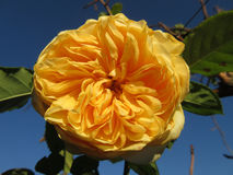 Vrij Gele Bloem Royalty-vrije Stock Foto's