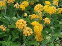 Vrij gele bloemen in bloei stock fotografie
