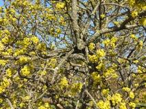 Vrij Gele Bloesems in de Prelente royalty-vrije stock afbeelding