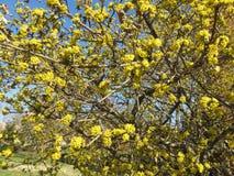 Vrij Gele Bloesems in de Prelente in Maart royalty-vrije stock foto's