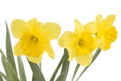 Vrij gele gele narcissen op witte achtergrond isolat Stock Afbeeldingen
