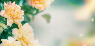 Vrij gele Rozen bloemenbanner royalty-vrije stock foto's