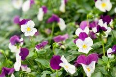 Vrij geschakeerd wit en purper viooltje Stock Afbeelding