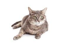 Vrij grijze kat met groene ogen Royalty-vrije Stock Afbeelding