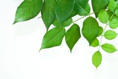 Vrij groene bladeren op wit. stock foto
