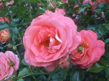 Vrij Heldere & Aantrekkelijke Roze Rose Flowers royalty-vrije stock foto's