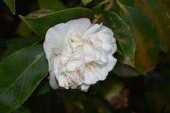 Vrij het Bloeien Witte Camellia Flower Blossom stock fotografie