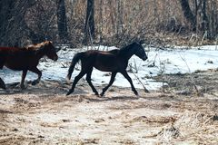 Vrij jong die paard twee op de lentegebied, rood en zwarte in werking wordt gesteld stock fotografie