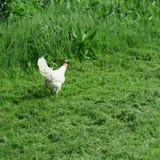 Vrij-leeft heldere kippen met haan die in volledig groen gras eten Royalty-vrije Stock Foto's