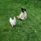 Vrij-leeft heldere kippen met haan die in volledig groen gras eten Stock Foto's