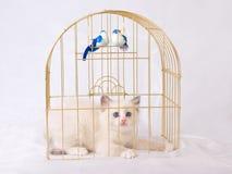 Vrij leuk katje Ragdoll binnen gouden birdcage Stock Foto