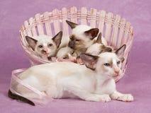 Vrij leuke Siamese Oosterse katjes in mand Stock Foto's