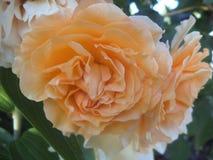 Vrij Lichtgele Rose Flowers royalty-vrije stock foto's