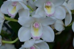 Vrij Perfecte Witte die Orchidee in Bleek in orde wordt gemaakt - roze royalty-vrije stock afbeeldingen