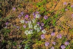 Vrij Purpere en Witte Trommelstok Wildflowers royalty-vrije stock fotografie