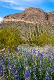 Vrij purpere wildflowers groeien in Orgran-het Nationale Monument van de Pijpcactus langs Ajo-Bergaandrijving in Zuidelijk Arizon royalty-vrije stock foto