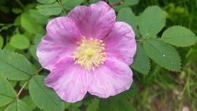 Vrij Roze bloem Stock Foto