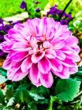 Vrij in Roze stock foto