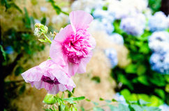Vrij roze bloemen Stock Foto