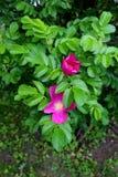 Vrij roze bloemen op gezonde die takken in groen van struiken in gemodelleerde tuin worden geplooid stock fotografie