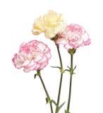 Vrij roze en gele geïsoleerde anjer Stock Fotografie