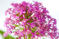 Vrij Roze Minaiture-Bloemen Stock Foto
