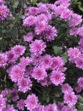 Vrij roze Mums Stock Foto's