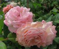 Vrij Roze Rose Flowers In Park Garden stock afbeelding