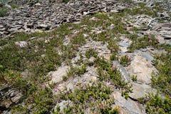 Vrij roze wildflowers die bij hoge verhoging in Hoge Siërra groeien royalty-vrije stock afbeeldingen