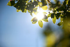 Vrij steken de onduidelijk beeld groene bladeren op boom met zachte zon behide op B aan Royalty-vrije Stock Afbeeldingen