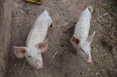 Vrij varken die in het landbouwbedrijf leven stock afbeeldingen