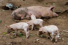 Vrij varken die in het landbouwbedrijf leven stock foto