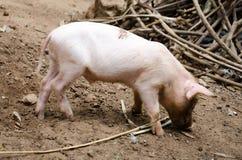 Vrij varken die in het landbouwbedrijf leven stock afbeelding