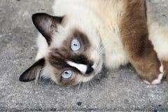 Vrij vrouwelijke siamese kat met blauwe ogen stock afbeeldingen