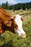 Vrij weidende binnenlandse en gezonde koe royalty-vrije stock afbeelding