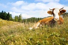 Vrij weidende koe op een idyllisch weiland stock foto's