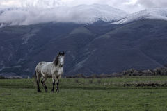 Vrij wild paard bij de voet Bergen van Stara Planina in Bulgarije Stock Fotografie