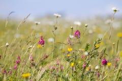 Vrij wilde bloemen in weide Royalty-vrije Stock Afbeeldingen