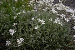Vrij witte bloemen die in een tuin bloeien stock foto's