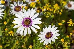 Vrij witte en purpere madeliefjewildflowers royalty-vrije stock afbeelding