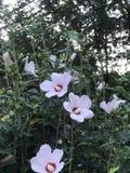 Vrij witte en rode bloeiende hagen stock fotografie