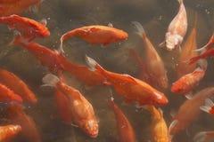 Vrij zwemmen van de goudvis Royalty-vrije Stock Foto's