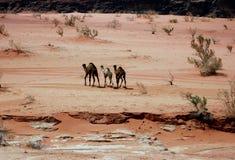 Vrije kamelen Royalty-vrije Stock Foto's