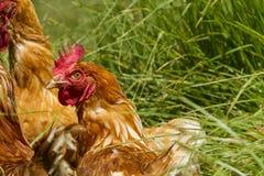 Vrije kippen in het organische eilandbouwbedrijf lopen op groen gras royalty-vrije stock foto's