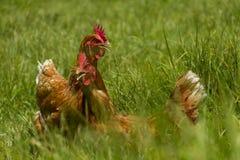 Vrije kippen in het organische eilandbouwbedrijf lopen op groen gras royalty-vrije stock afbeeldingen