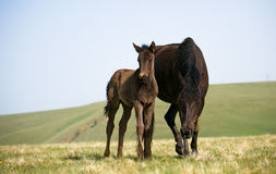 Vrije paarden Royalty-vrije Stock Foto
