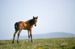 Vrije paarden Royalty-vrije Stock Afbeelding