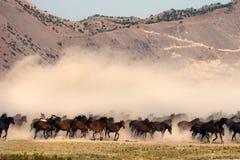 Vrije paarden die de aard in werking stellen Royalty-vrije Stock Fotografie